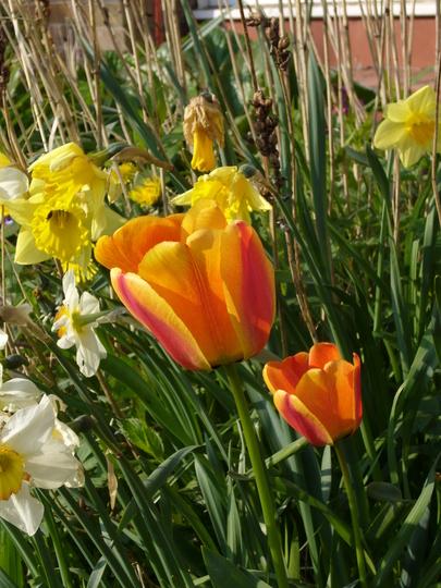 Darwin Tulip