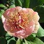 Paeonia_mlokosewitschii_seed_raised_2009