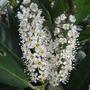 Prunus_laurocerasus_otto_luyken_2009