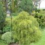 out of fashion (Chamaecyparis lawsoniana (Lawson cypress) 'Nana gracilis')
