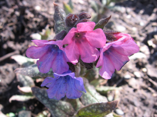William and Mary (Pulmonaria angustifolia (Blue Cowslip))