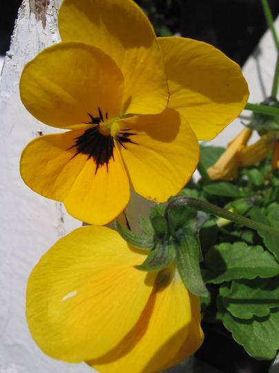 sorbet yellow babyface pansy (viola odorata, viola tricolor, viola cornuta)
