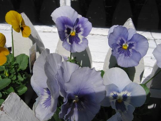 marina shades (viola odorata, viola tricolor, viola cornuta)