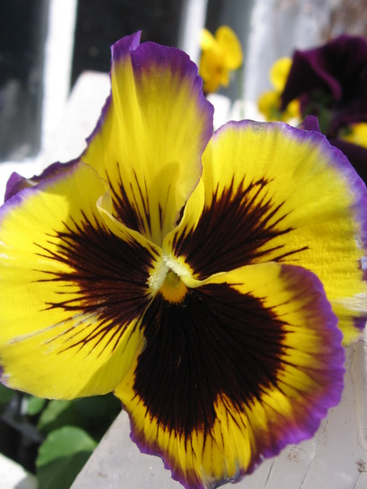 Fizzy Lemonberry (viola odorata, viola tricolor, viola cornuta)