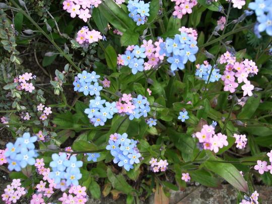 Myosotis (Myosotis alpestris (Alpine Forget-me-not))