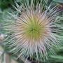 Pasque flower seed head (Pulsatilla vulgaris (Pasque flower))