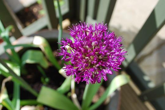 Allium (Allium Purple Sensation)