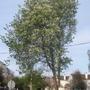 Prunus padus (Prunus padus)