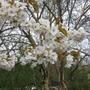 Prunus 'Tai Haku' flowers (Prunus 'Tai Haku')