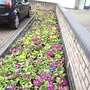 Flower_beds_in_mayfield_road_2009_03_10_006