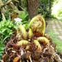 Tree fern , new fronds (Dicksonia antarctica (Soft tree fern))