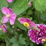 anemone and dahlia  08