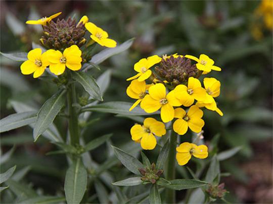 Wallflower (Erysimum cheiri (Goldlack))