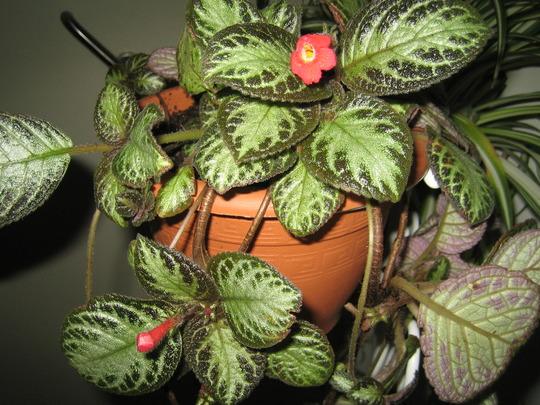 Episcia cupreata 'Acajou' (Episcia cupreata)