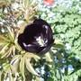 Tulip Queen of the Night 04.09 (Tulipa ?)