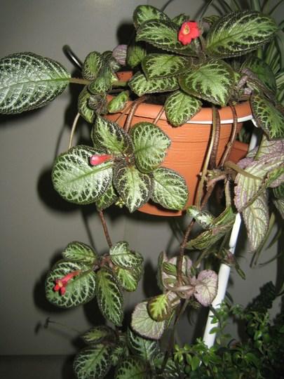 Espicia (Episcia cupreata)