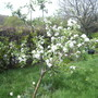Family Apple Tree 04.09 (Malus domestica (Vistabile))