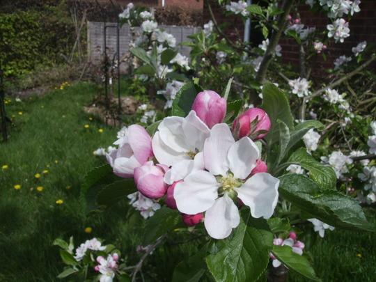 Family AppleTree Blossom 04.09 (Malus domestica (Vistabile))