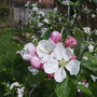 Family AppleTree Blossom 04.09 (Malus domestica (Vistabile))