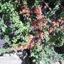 Japonicafloweringvistabilepatiofence09.04.20