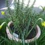 Rosemaryfloweringvistabiledrivefrenchpot09.04.20