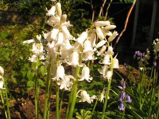 Hyacinthoides hispanica alba (Hyacinthoides hispanica alba)