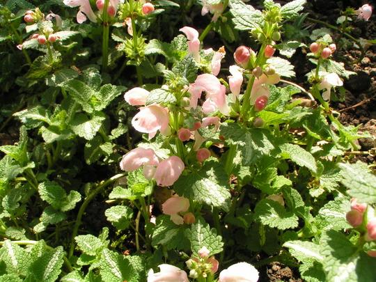 A garden flower photo (Lamium maculatum)