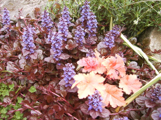 ajuga 39 braunherz 39 and heuchera 39 creme brule 39 grows on you. Black Bedroom Furniture Sets. Home Design Ideas