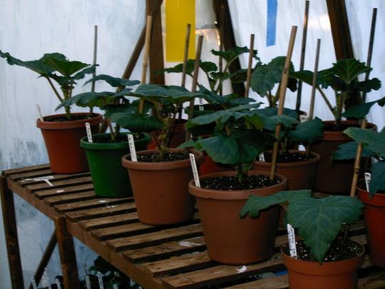 Begonias 2007 (Begonia)