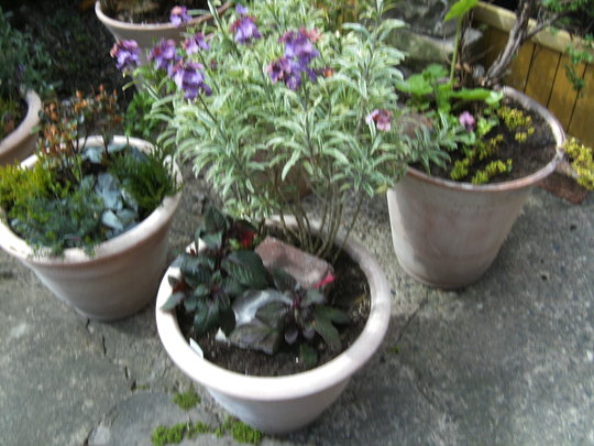 Update on Erysimum (Erysimum and Fuchsia)