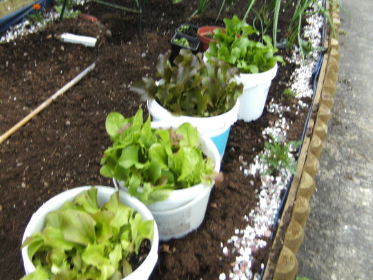 Lettuice in buckets! (lettuice)