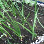 Onions_with_dwarf_beans_behind.