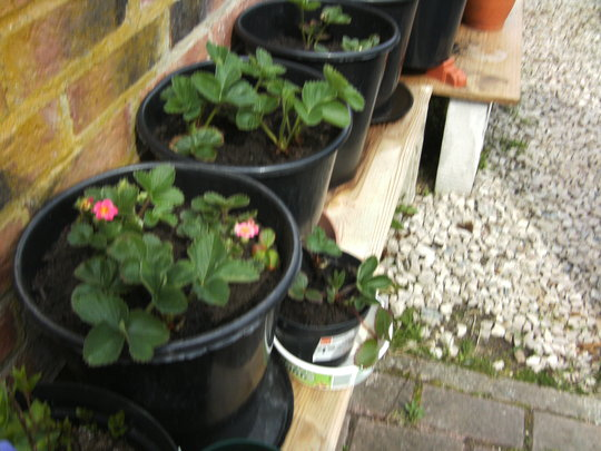 Strawberries, 3 large pots..Update. (strawberry)