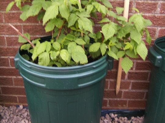 Raspberry plant. Update.