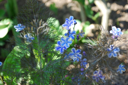Starry Eyes and fennel (bronze) (Omphalodes cappadocica (Navelwort) Starry Eyes)