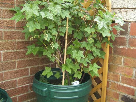 black currant bush Update