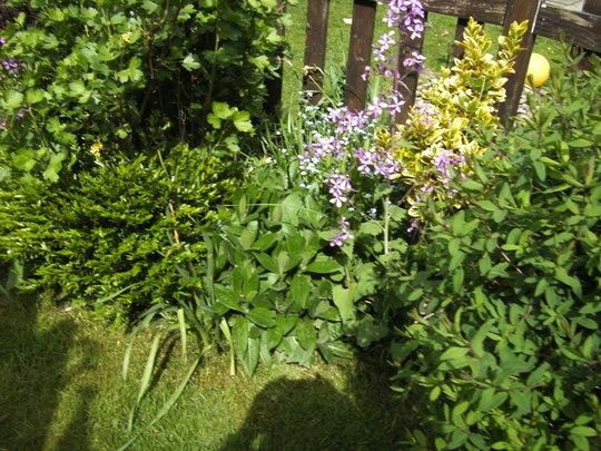 Forget me nots - self seeded