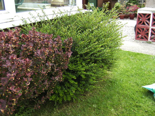 Bushes by Conservatory. (Berberis darwinii)