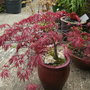 Little red tree (Acer palmatum)