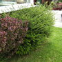 Bushes_by_conservatory_berberry_darwini_and_lonicera_nitida..