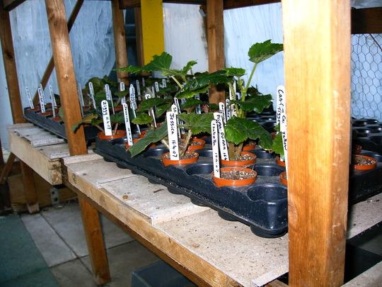 Begonia cuttings (Begonia)