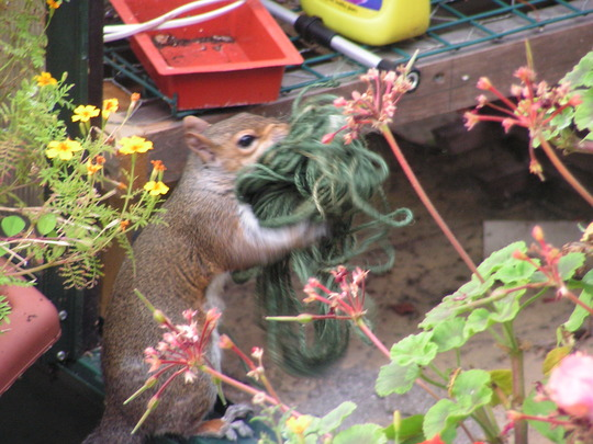 squirrel the garden thief - caught in the act