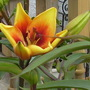 """I think this lily is called """"Grand Cru"""""""