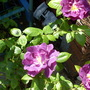 """rose..""""rhapsody in blue"""""""