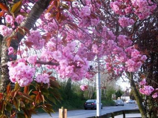 Prunus__Kanzan__flowers.jpg