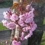Pruus__Kanzan__flower_closeup.jpg