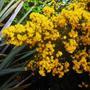 Ulex_eur._plenus_flowers