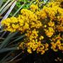 Ulex europeus 'Flore Plena' (Ulex europaeus 'Flore Plena')