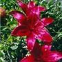 Monte Negro Lily