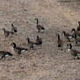 Canada Geese, gleaning the stubble...